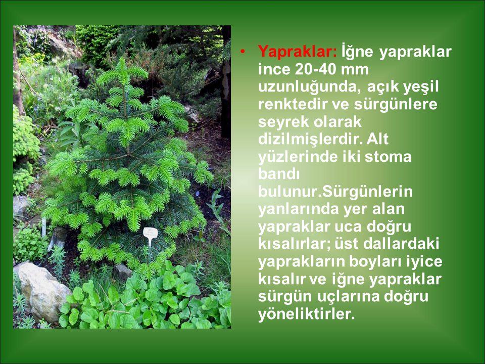 Yapraklar: İğne yapraklar ince 20-40 mm uzunluğunda, açık yeşil renktedir ve sürgünlere seyrek olarak dizilmişlerdir. Alt yüzlerinde iki stoma bandı b