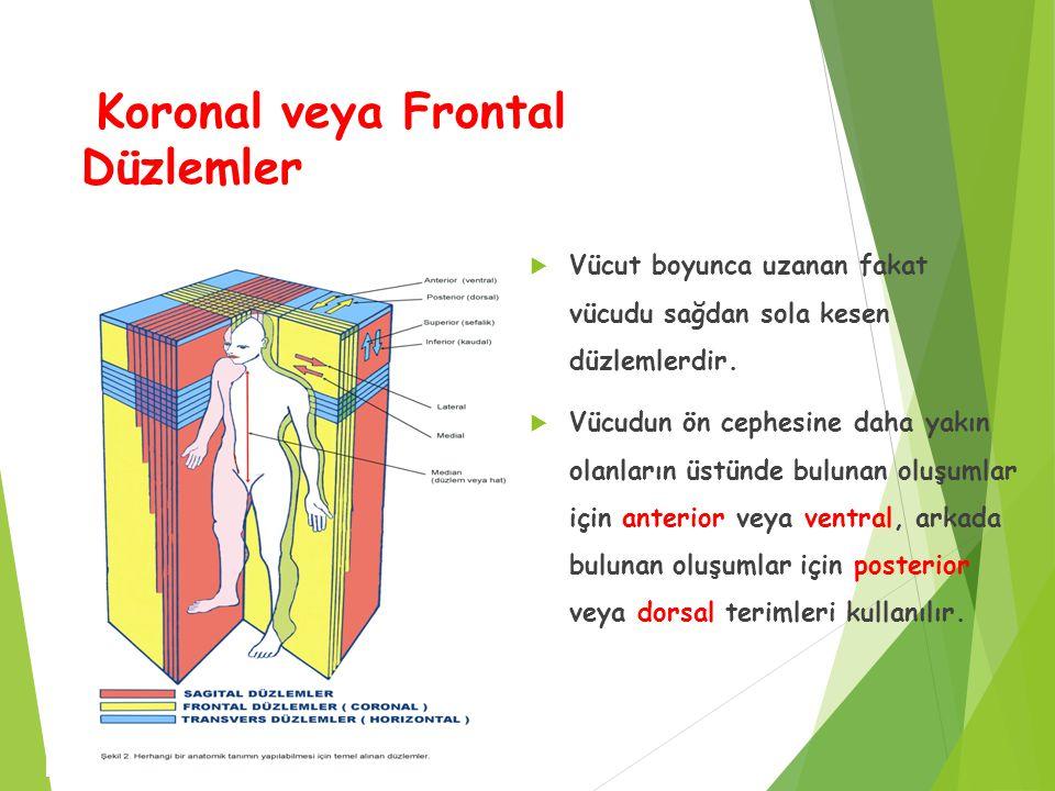 Koronal veya Frontal Düzlemler  Vücut boyunca uzanan fakat vücudu sağdan sola kesen düzlemlerdir.  Vücudun ön cephesine daha yakın olanların üstünde