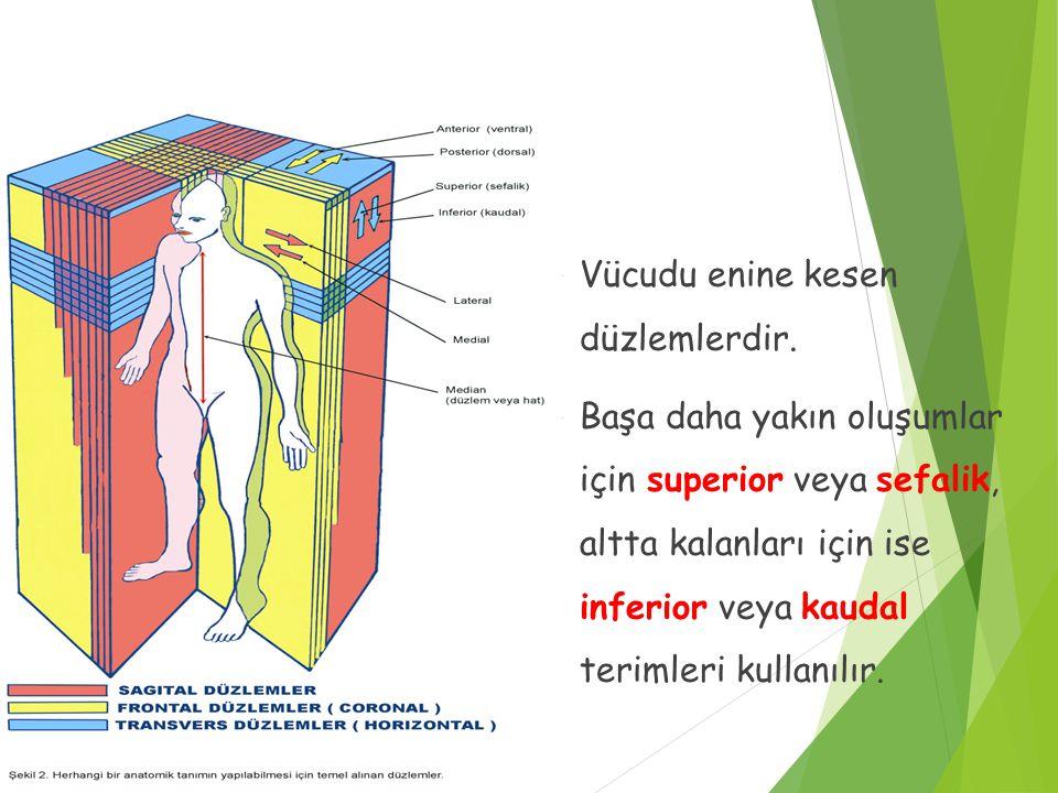 Transvers veya Horizontal Düzlemler  Vücudu enine kesen düzlemlerdir.  Başa daha yakın oluşumlar için superior veya sefalik, altta kalanları için is