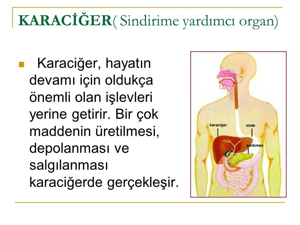 KARACİĞER( Sindirime yardımcı organ) Karaciğer, hayatın devamı için oldukça önemli olan işlevleri yerine getirir. Bir çok maddenin üretilmesi, depolan