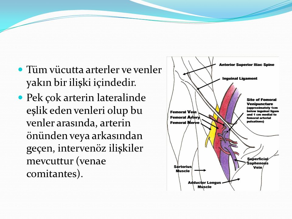 Tüm vücutta arterler ve venler yakın bir ilişki içindedir. Pek çok arterin lateralinde eşlik eden venleri olup bu venler arasında, arterin önünden vey
