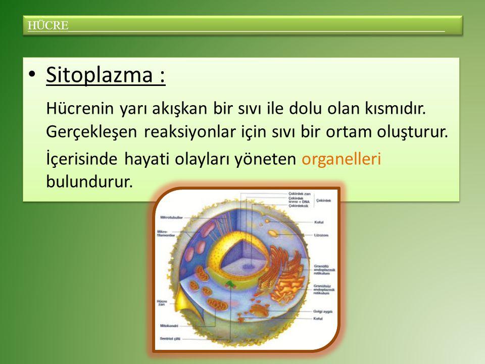 Sitoplazma : Hücrenin yarı akışkan bir sıvı ile dolu olan kısmıdır.