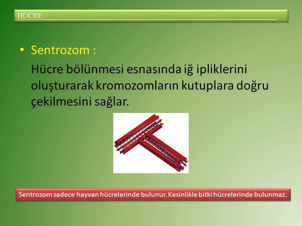 Sentrozom : Hücre bölünmesi esnasında iğ ipliklerini oluşturarak kromozomların kutuplara doğru çekilmesini sağlar.