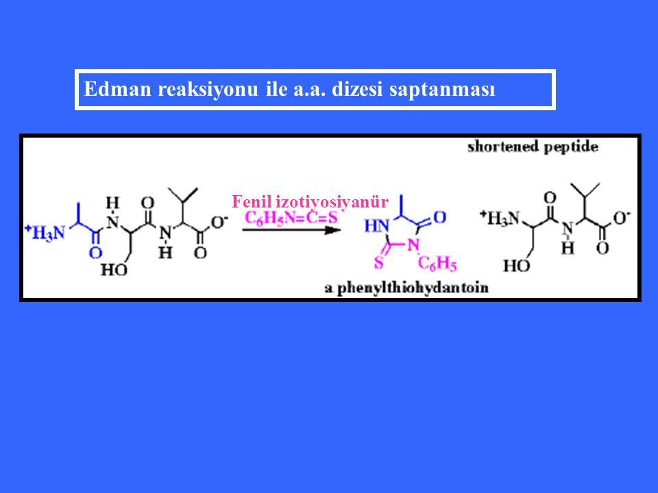 Fenil izotiyosiyanür Edman reaksiyonu ile a.a. dizesi saptanması