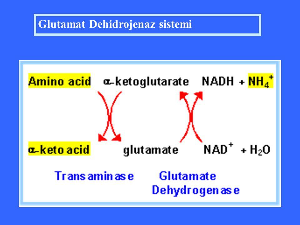 Glutamat Dehidrojenaz sistemi