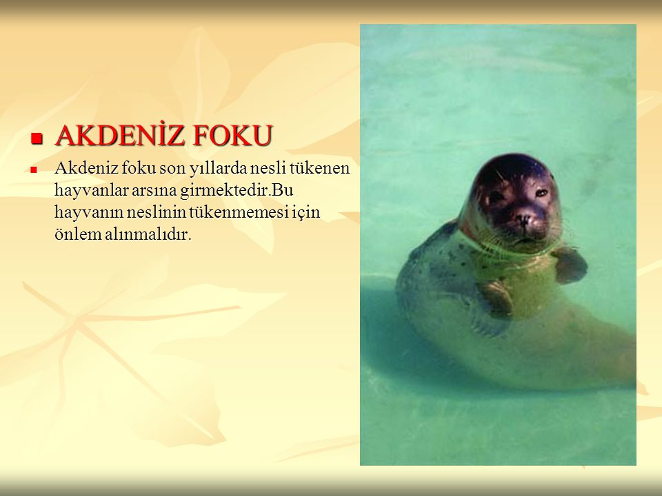 AKDENİZ FOKU AKDENİZ FOKU Akdeniz foku son yıllarda nesli tükenen hayvanlar arsına girmektedir.Bu hayvanın neslinin tükenmemesi için önlem alınmalıdır