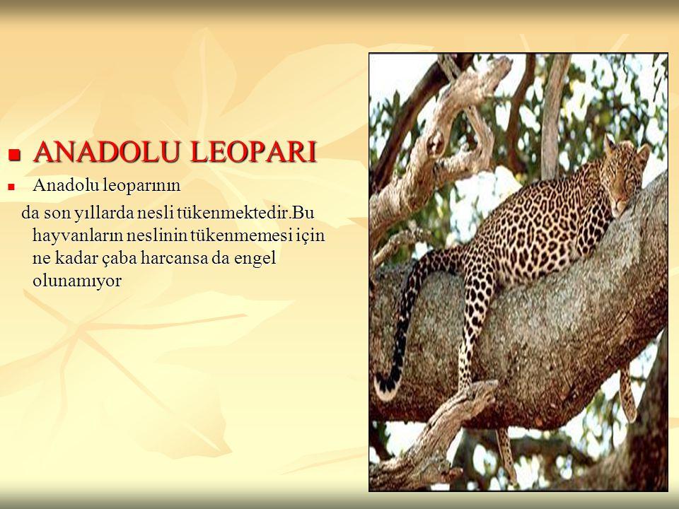 ANADOLU LEOPARI ANADOLU LEOPARI Anadolu leoparının Anadolu leoparının da son yıllarda nesli tükenmektedir.Bu hayvanların neslinin tükenmemesi için ne