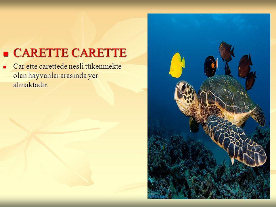 CARETTE CARETTE CARETTE CARETTE Car ette carettede nesli tükenmekte olan hayvanlar arasında yer almaktadır. Car ette carettede nesli tükenmekte olan h