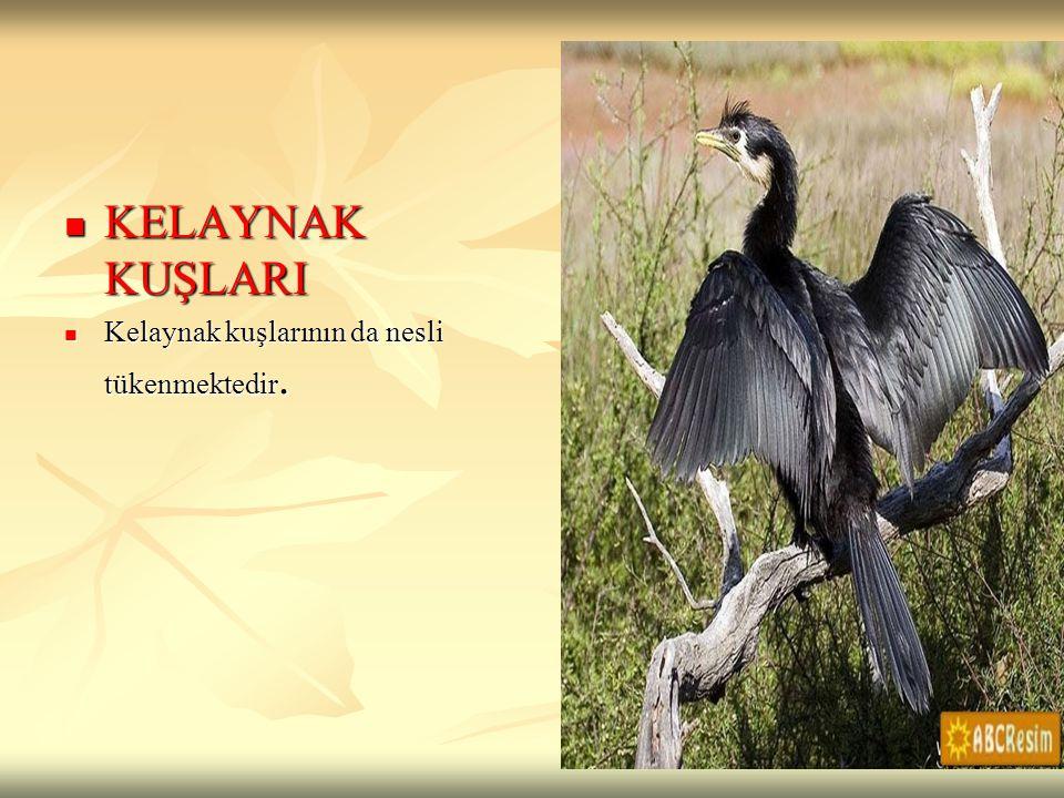 KELAYNAK KUŞLARI KELAYNAK KUŞLARI Kelaynak kuşlarının da nesli tükenmektedir. Kelaynak kuşlarının da nesli tükenmektedir.