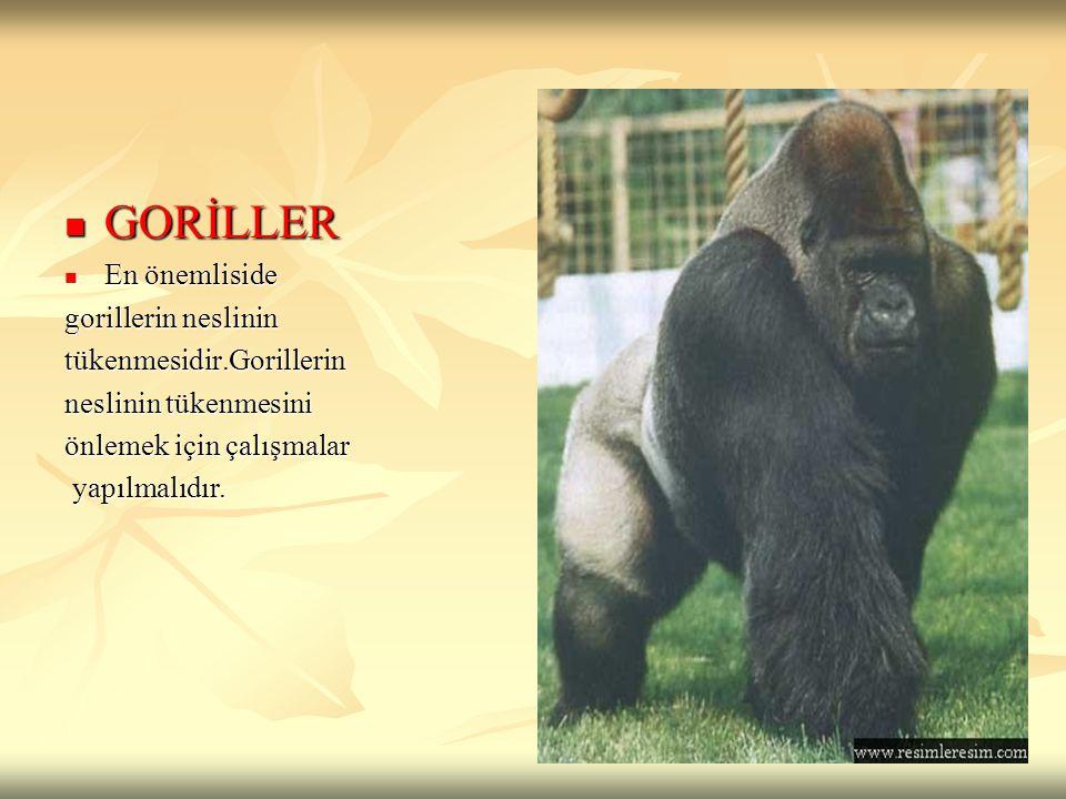 GORİLLER GORİLLER En önemliside En önemliside gorillerin neslinin tükenmesidir.Gorillerin neslinin tükenmesini önlemek için çalışmalar yapılmalıdır. y