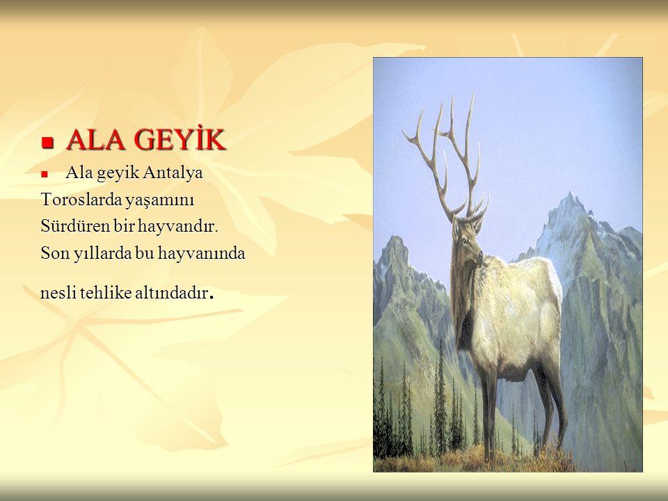 ALA GEYİK ALA GEYİK Ala geyik Antalya Ala geyik Antalya Toroslarda yaşamını Sürdüren bir hayvandır. Son yıllarda bu hayvanında nesli tehlike altındadı