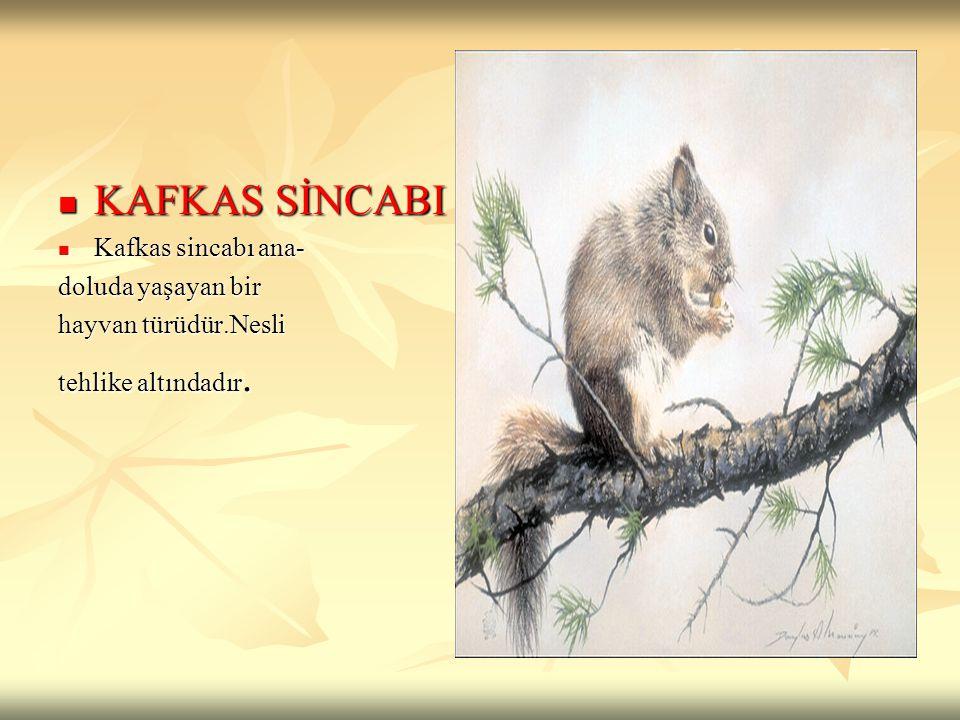 KAFKAS SİNCABI KAFKAS SİNCABI Kafkas sincabı ana- Kafkas sincabı ana- doluda yaşayan bir hayvan türüdür.Nesli tehlike altındadır.