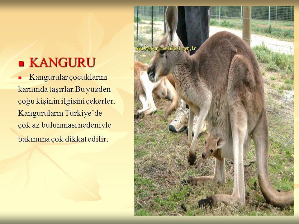 KANGURU KANGURU Kangurular çocuklarını Kangurular çocuklarını karnında taşırlar.Bu yüzden çoğu kişinin ilgisini çekerler. Kanguruların Türkiye'de çok