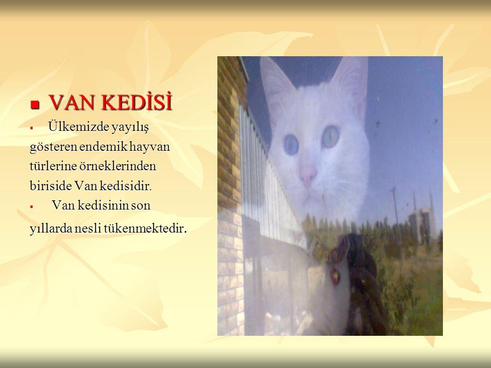 VAN KEDİSİ VAN KEDİSİ  Ülkemizde yayılış gösteren endemik hayvan türlerine örneklerinden biriside Van kedisidir.  Van kedisinin son yıllarda nesli t