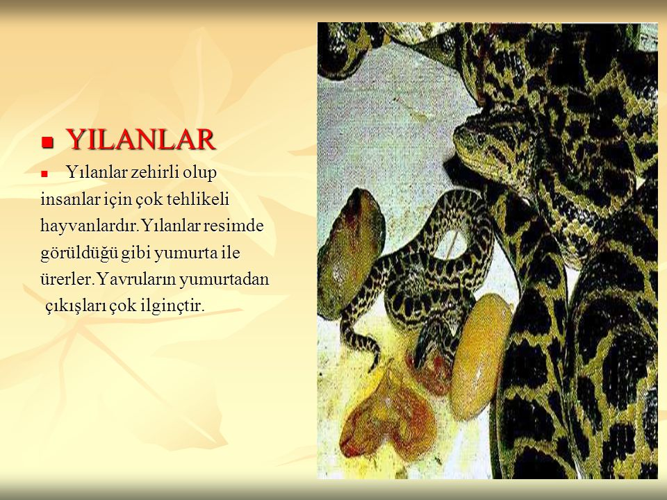 YILANLAR YILANLAR Yılanlar zehirli olup Yılanlar zehirli olup insanlar için çok tehlikeli hayvanlardır.Yılanlar resimde görüldüğü gibi yumurta ile üre