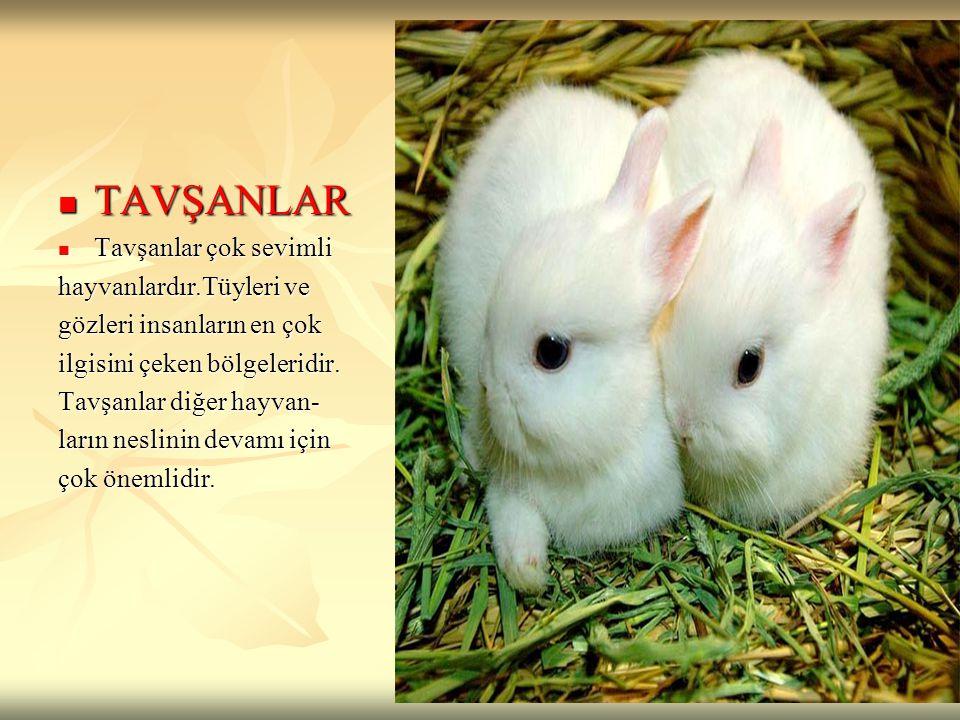 TAVŞANLAR TAVŞANLAR Tavşanlar çok sevimli Tavşanlar çok sevimli hayvanlardır.Tüyleri ve gözleri insanların en çok ilgisini çeken bölgeleridir. Tavşanl
