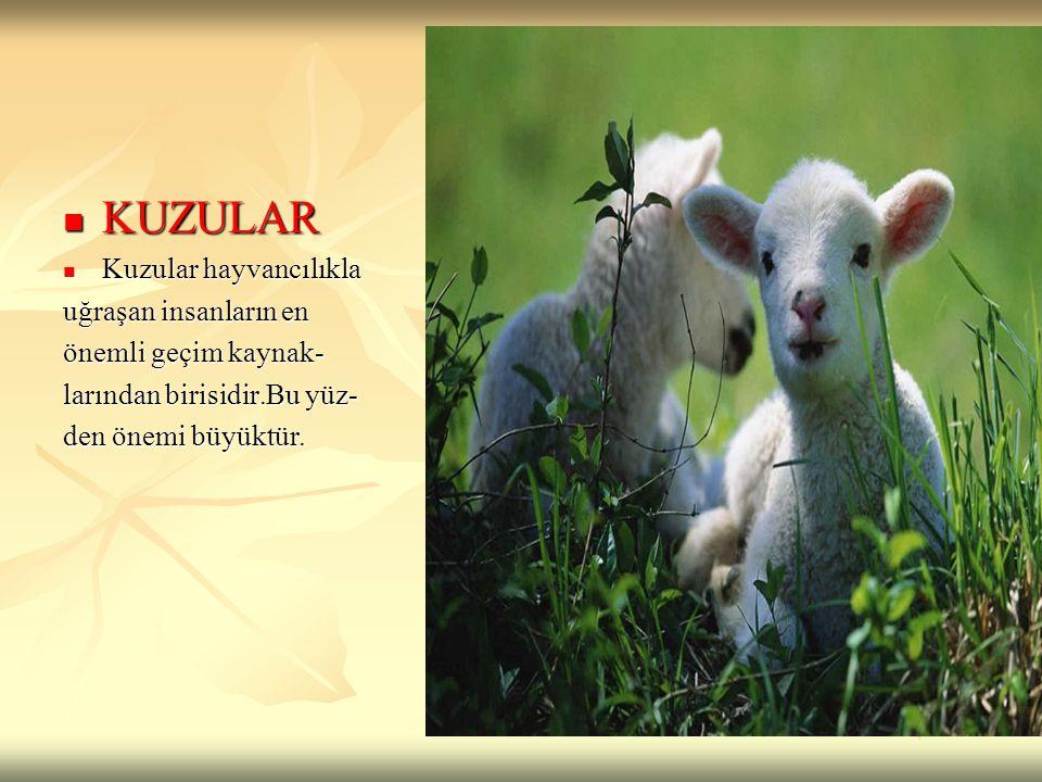 KUZULAR KUZULAR Kuzular hayvancılıkla Kuzular hayvancılıkla uğraşan insanların en önemli geçim kaynak- larından birisidir.Bu yüz- den önemi büyüktür.