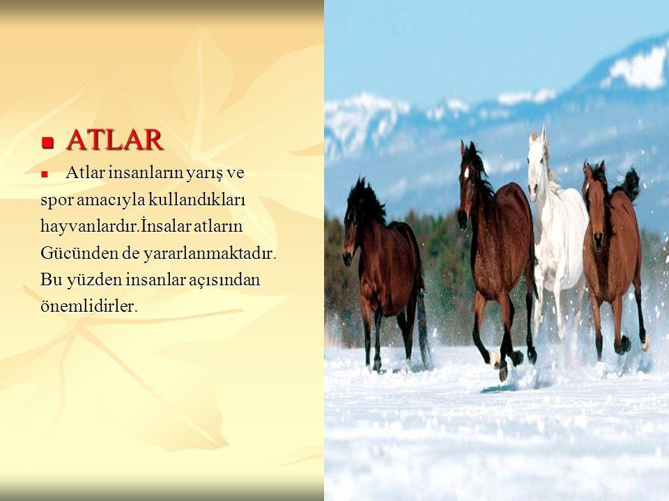 ATLAR ATLAR Atlar insanların yarış ve Atlar insanların yarış ve spor amacıyla kullandıkları hayvanlardır.İnsalar atların Gücünden de yararlanmaktadır.