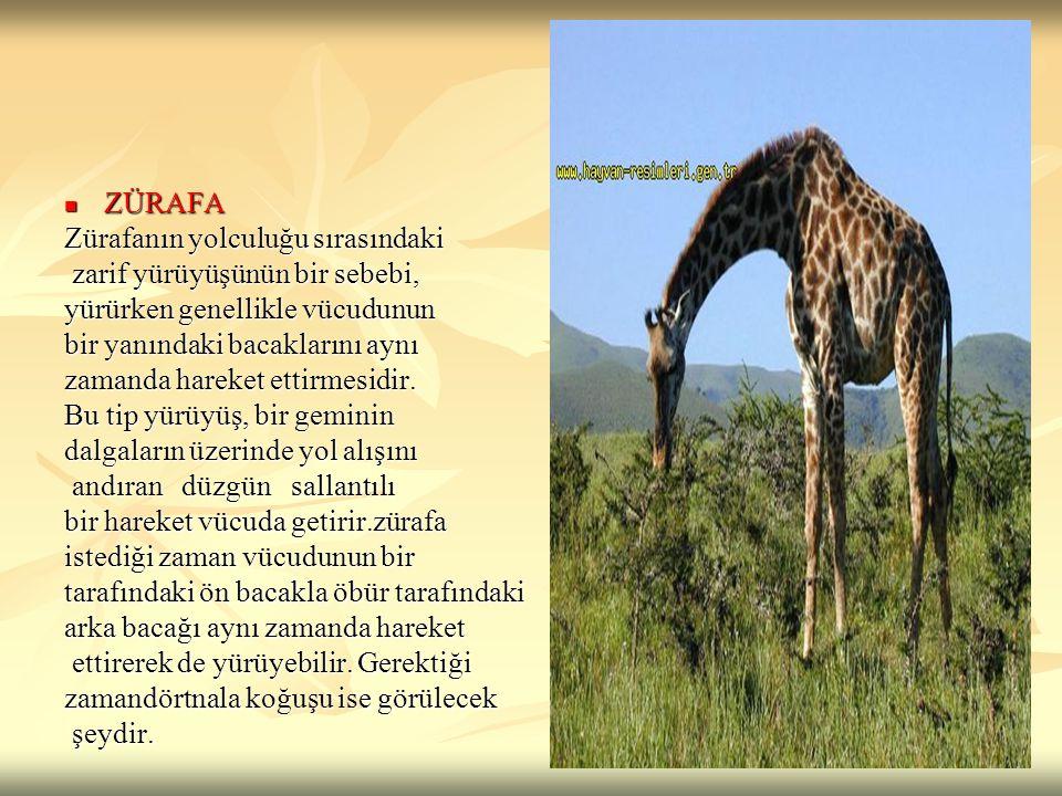 ZÜRAFA ZÜRAFA Zürafanın yolculuğu sırasındaki zarif yürüyüşünün bir sebebi, zarif yürüyüşünün bir sebebi, yürürken genellikle vücudunun bir yanındaki
