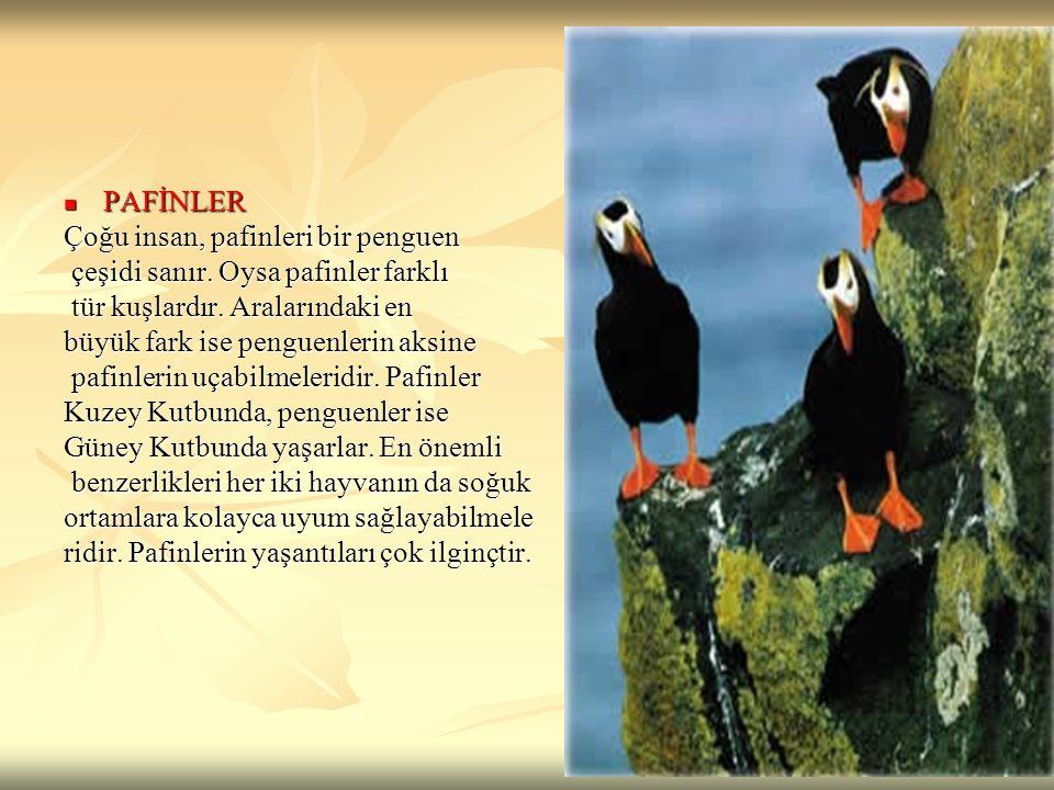 PAFİNLER PAFİNLER Çoğu insan, pafinleri bir penguen çeşidi sanır. Oysa pafinler farklı çeşidi sanır. Oysa pafinler farklı tür kuşlardır. Aralarındaki