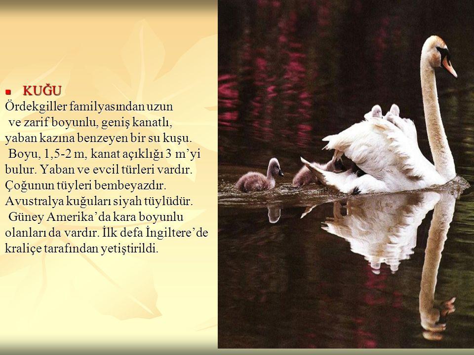 KUĞU KUĞU Ördekgiller familyasından uzun ve zarif boyunlu, geniş kanatlı, ve zarif boyunlu, geniş kanatlı, yaban kazına benzeyen bir su kuşu. Boyu, 1,