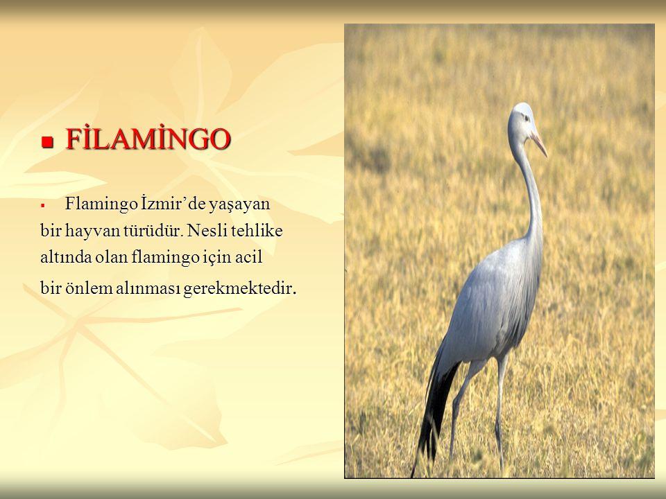 FİLAMİNGO FİLAMİNGO  Flamingo İzmir'de yaşayan bir hayvan türüdür. Nesli tehlike altında olan flamingo için acil bir önlem alınması gerekmektedir.