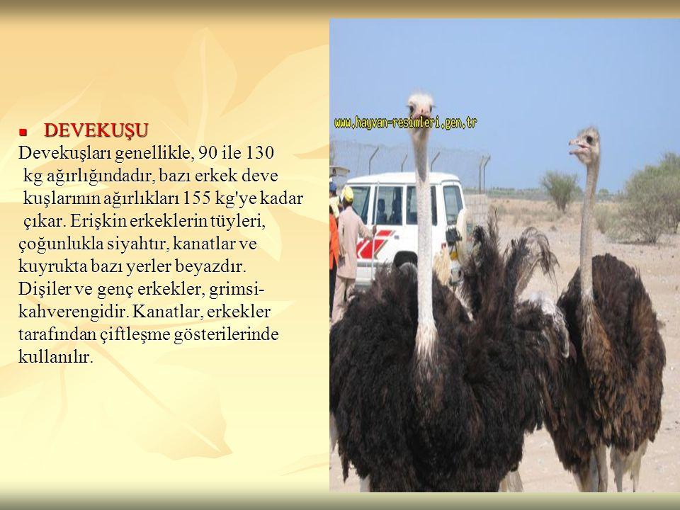 DEVEKUŞU DEVEKUŞU Devekuşları genellikle, 90 ile 130 kg ağırlığındadır, bazı erkek deve kg ağırlığındadır, bazı erkek deve kuşlarının ağırlıkları 155