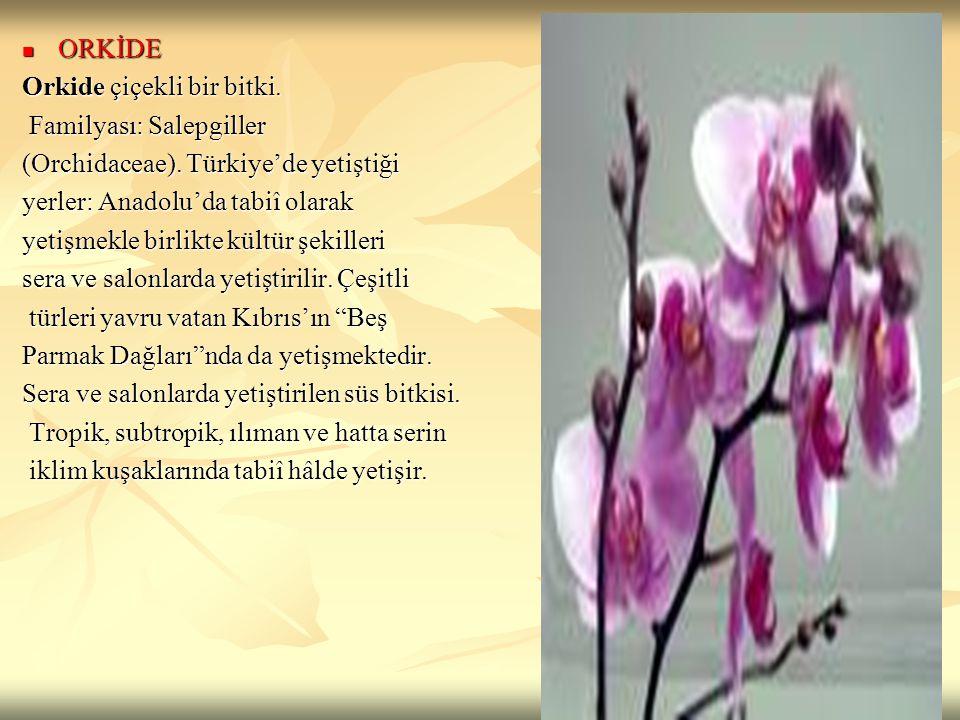 ORKİDE ORKİDE Orkide çiçekli bir bitki. Familyası: Salepgiller Familyası: Salepgiller (Orchidaceae). Türkiye'de yetiştiği yerler: Anadolu'da tabiî ola