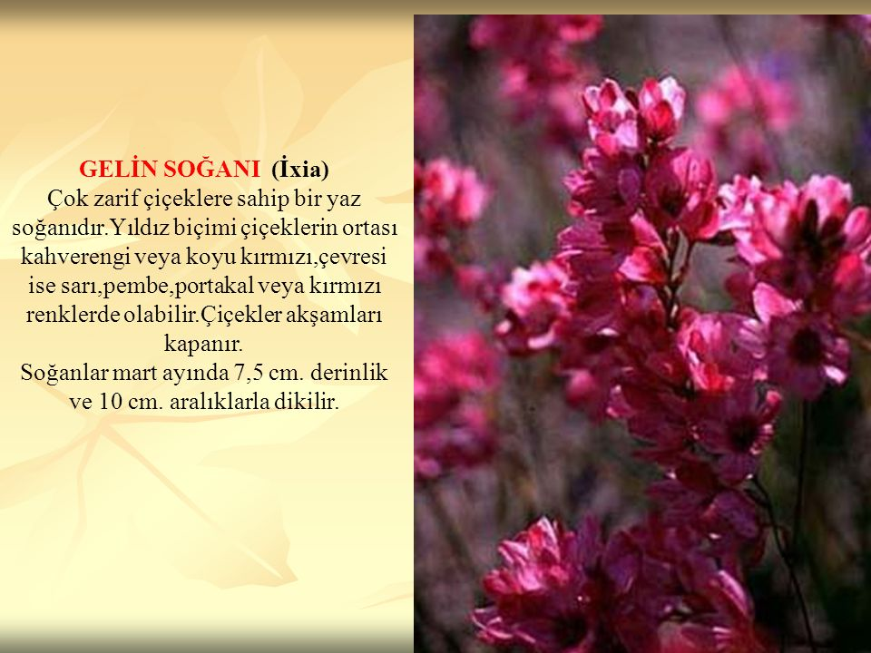 GELİN SOĞANI (İxia) Çok zarif çiçeklere sahip bir yaz soğanıdır.Yıldız biçimi çiçeklerin ortası kahverengi veya koyu kırmızı,çevresi ise sarı,pembe,po