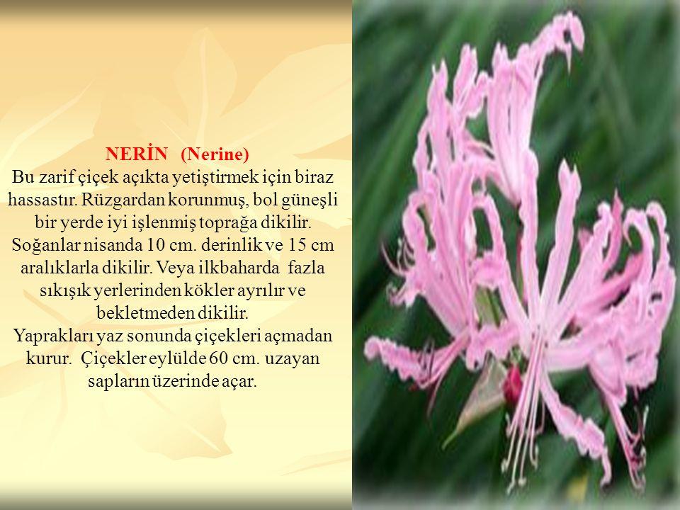 NERİN (Nerine) Bu zarif çiçek açıkta yetiştirmek için biraz hassastır. Rüzgardan korunmuş, bol güneşli bir yerde iyi işlenmiş toprağa dikilir. Soğanla