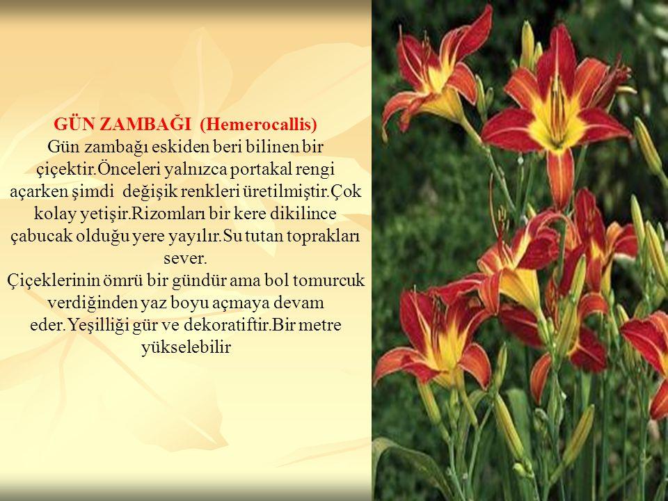 GÜN ZAMBAĞI (Hemerocallis) Gün zambağı eskiden beri bilinen bir çiçektir.Önceleri yalnızca portakal rengi açarken şimdi değişik renkleri üretilmiştir.