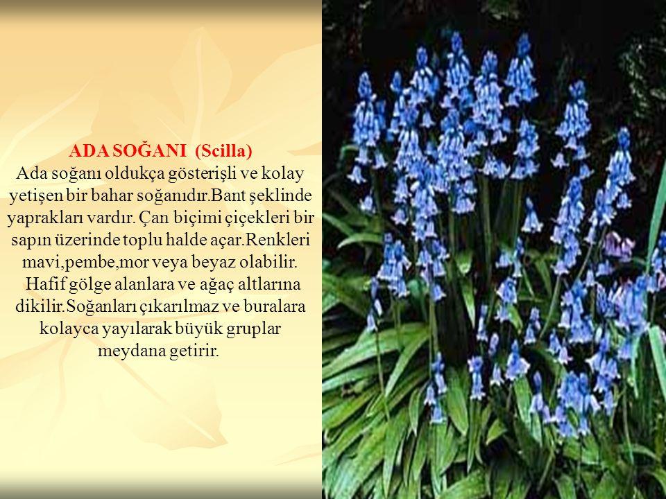 ADA SOĞANI (Scilla) Ada soğanı oldukça gösterişli ve kolay yetişen bir bahar soğanıdır.Bant şeklinde yaprakları vardır. Çan biçimi çiçekleri bir sapın