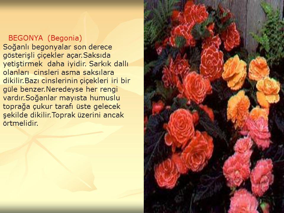 BEGONYA (Begonia) Soğanlı begonyalar son derece g ö sterişli ç i ç ekler a ç ar.Saksıda yetiştirmek daha iyidir. Sarkık dallı olanları cinsleri asma s