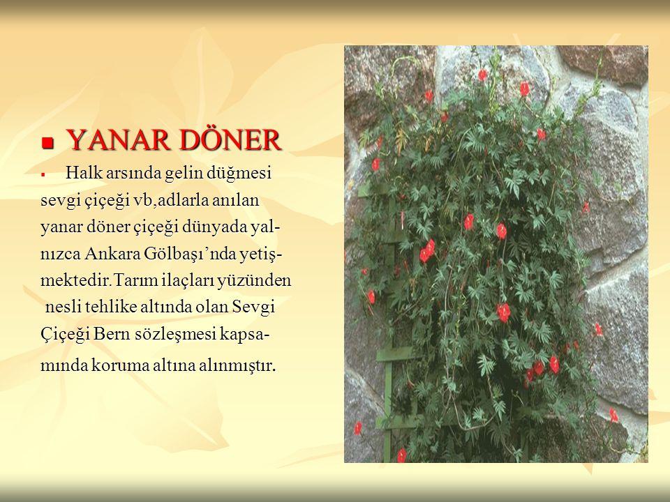 YANAR DÖNER YANAR DÖNER  Halk arsında gelin düğmesi sevgi çiçeği vb,adlarla anılan yanar döner çiçeği dünyada yal- nızca Ankara Gölbaşı'nda yetiş- me