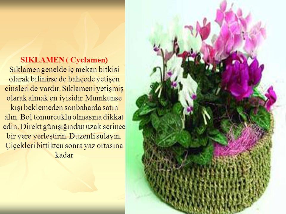 SIKLAMEN ( Cyclamen) Sıklamen genelde iç mekan bitkisi olarak bilinirse de bahçede yetişen cinsleri de vardır. Sıklameni yetişmiş olarak almak en iyis