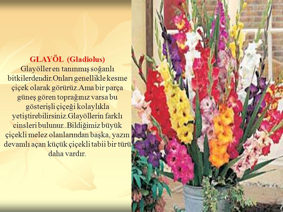 GLAYÖL (Gladiolus) Glayöller en tanınmış soğanlı bitkilerdendir.Onları genellikle kesme çiçek olarak görürüz.Ama bir parça güneş gören toprağınız vars