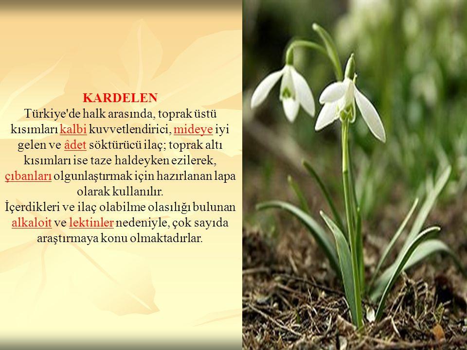 KARDELEN Türkiye'de halk arasında, toprak üstü kısımları kalbi kuvvetlendirici, mideye iyi gelen ve âdet söktürücü ilaç; toprak altı kısımları ise taz