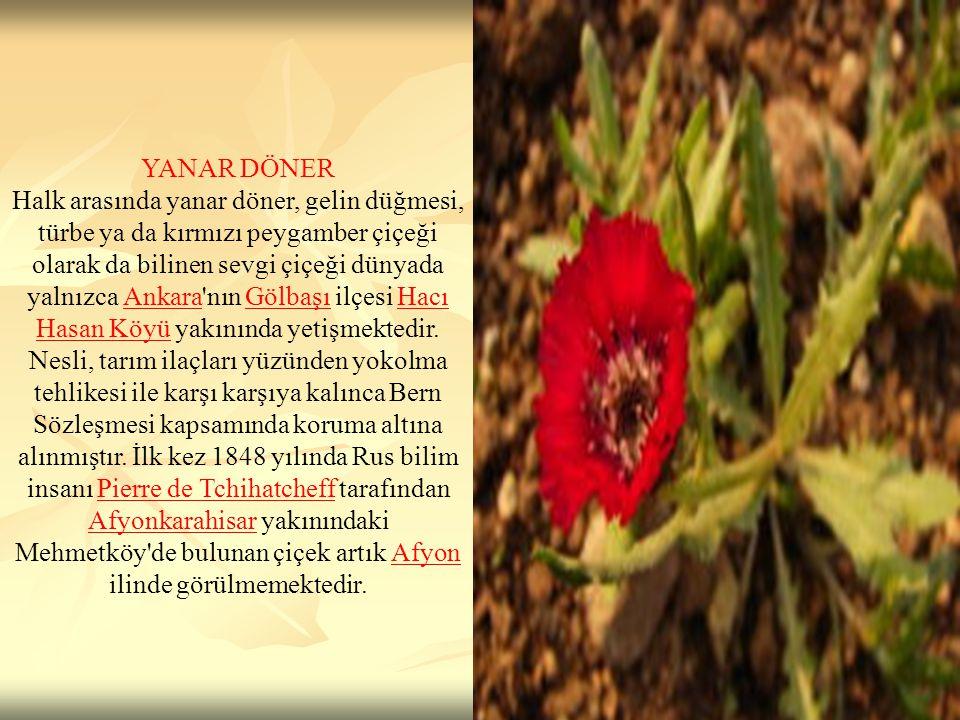 YANAR DÖNER Halk arasında yanar döner, gelin düğmesi, türbe ya da kırmızı peygamber çiçeği olarak da bilinen sevgi çiçeği dünyada yalnızca Ankara'nın