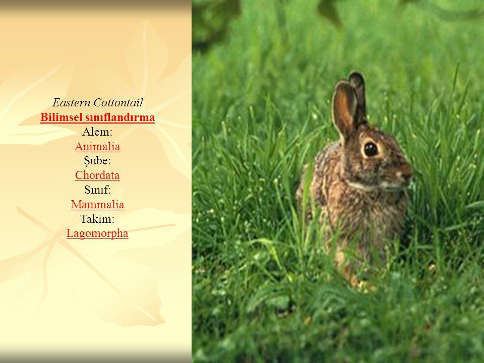 Eastern Cottontail Bilimsel sınıflandırma Alem: Animalia Şube: Chordata Sınıf: Mammalia Takım: Lagomorpha