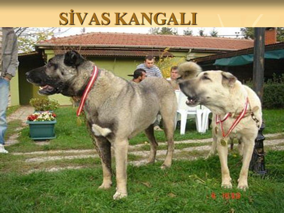 SİVAS KANGALI