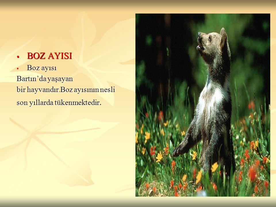  BOZ AYISI  Boz ayısı Bartın'da yaşayan bir hayvandır.Boz ayısının nesli son yıllarda tükenmektedir.