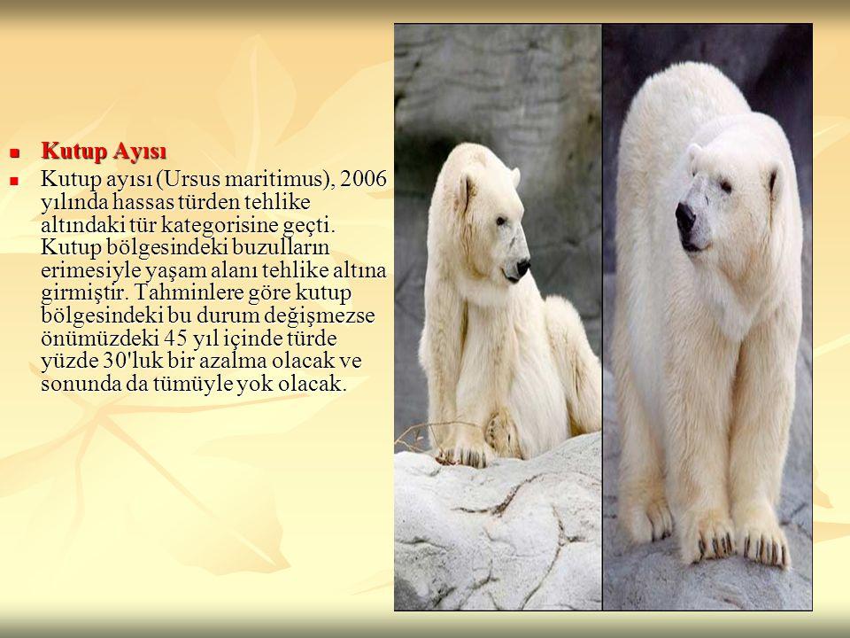 Kutup Ayısı Kutup Ayısı Kutup ayısı (Ursus maritimus), 2006 yılında hassas türden tehlike altındaki tür kategorisine geçti. Kutup bölgesindeki buzulla