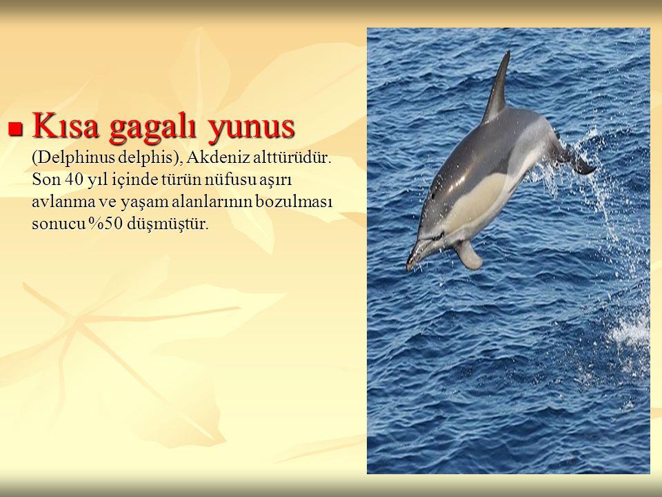Kısa gagalı yunus (Delphinus delphis), Akdeniz alttürüdür. Son 40 yıl içinde türün nüfusu aşırı avlanma ve yaşam alanlarının bozulması sonucu %50 düşm