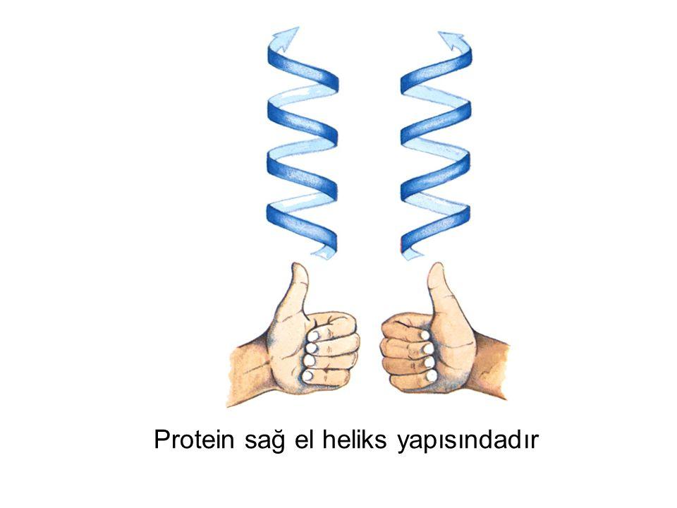 Protein sağ el heliks yapısındadır