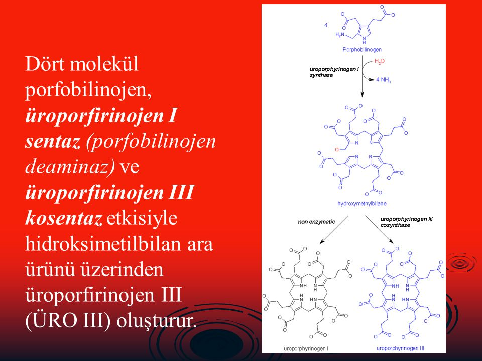 Dört molekül porfobilinojen, üroporfirinojen I sentaz (porfobilinojen deaminaz) ve üroporfirinojen III kosentaz etkisiyle hidroksimetilbilan ara ürünü