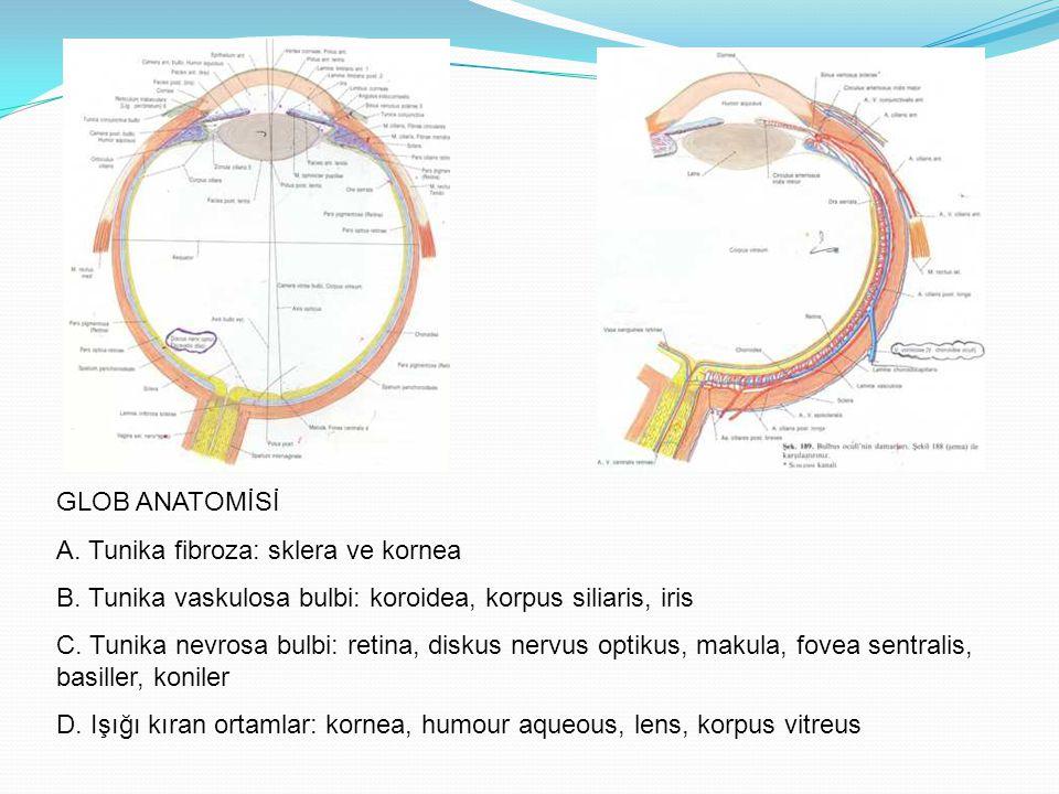 GLOB ANATOMİSİ A. Tunika fibroza: sklera ve kornea B. Tunika vaskulosa bulbi: koroidea, korpus siliaris, iris C. Tunika nevrosa bulbi: retina, diskus