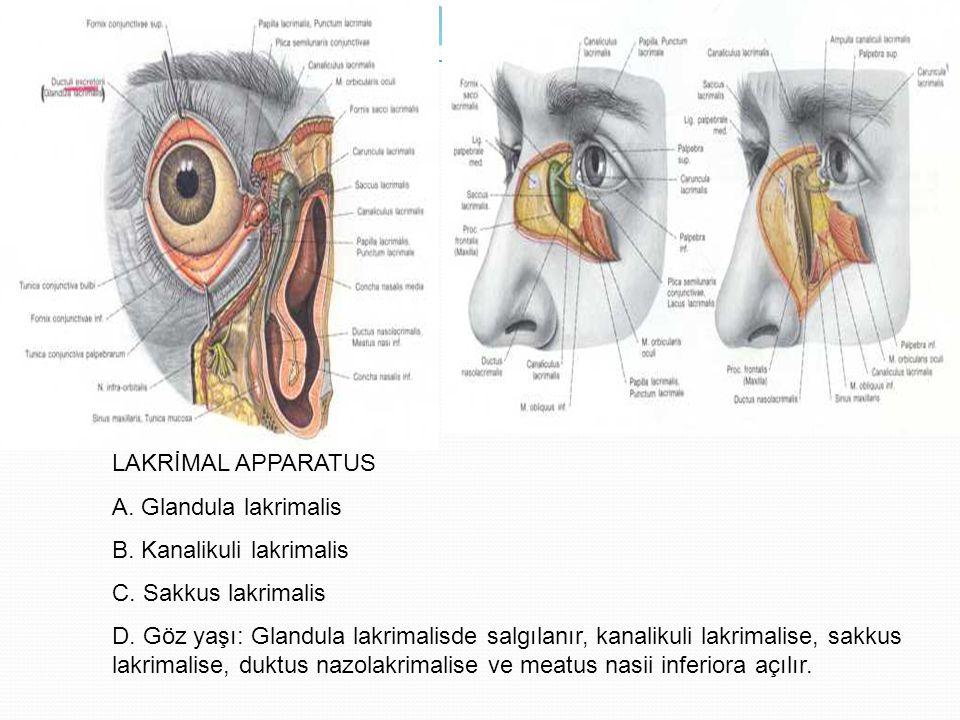 LAKRİMAL APPARATUS A. Glandula lakrimalis B. Kanalikuli lakrimalis C. Sakkus lakrimalis D. Göz yaşı: Glandula lakrimalisde salgılanır, kanalikuli lakr