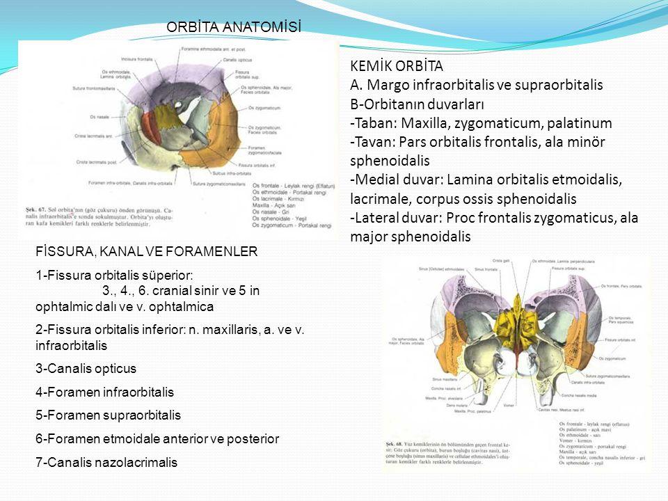KEMİK ORBİTA A. Margo infraorbitalis ve supraorbitalis B-Orbitanın duvarları -Taban: Maxilla, zygomaticum, palatinum -Tavan: Pars orbitalis frontalis,