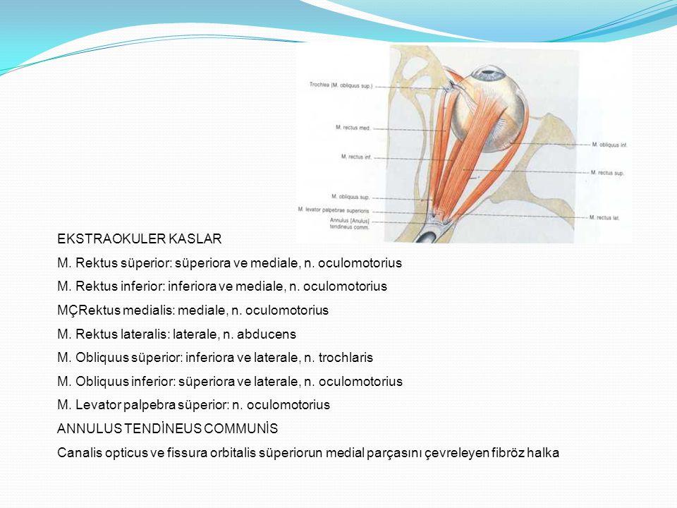 EKSTRAOKULER KASLAR M. Rektus süperior: süperiora ve mediale, n. oculomotorius M. Rektus inferior: inferiora ve mediale, n. oculomotorius MÇRektus med