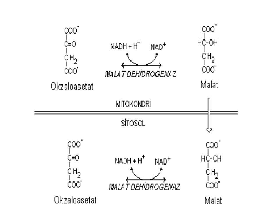 1* ) OAA, TCA sikl ü s ü reaksiyonunu kullanarak malata d ö n ü ş ü r ve bu ş ekilde mitokondiriyi terk eder.